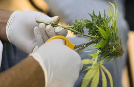 Выращен сорт детской марихуаны
