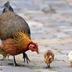Птичий грипп: в ожидании пандемии