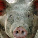 Люди умирают от свиного гриппа – в Европе