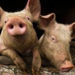 Свиньи с человеческими органами: ноу-хау