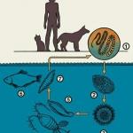 Гельминтозы и их негативное влияние на организм человека
