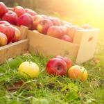 Яблоко - райский плод