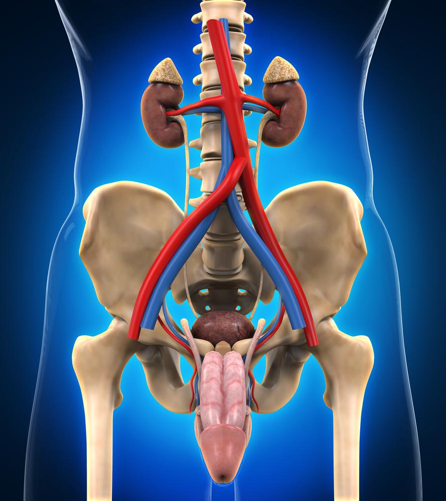 мужская мочеполовая система фото