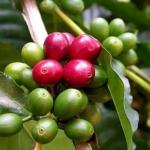 Зеленый кофе. В чем секрет?