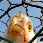 Эксперты считают украинскую курятину опасной
