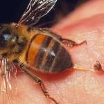 Чем чреваты укусы пчел