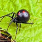 Симптомы укуса черной вдовы-каракурта