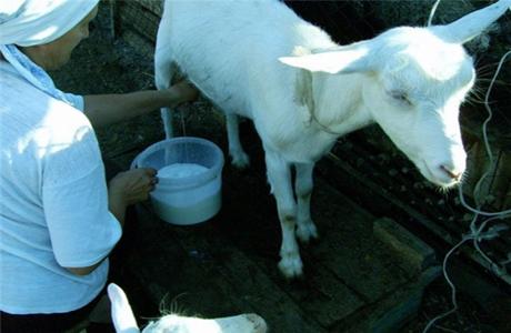 Для лечения рака груди используют козье молоко