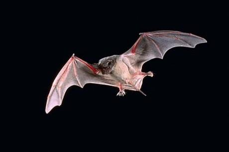 Кровь летучих мышей избавляет от глазной инфекции. Ухотерапия