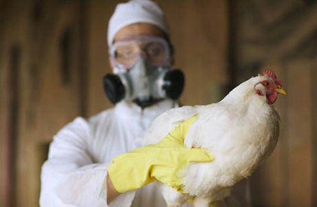Опасен ли для людей птичий грипп