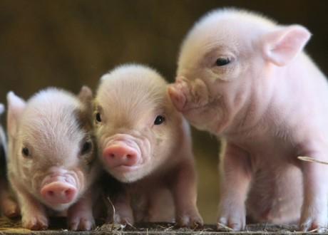 Свиньи будут обеспечивать людей органами