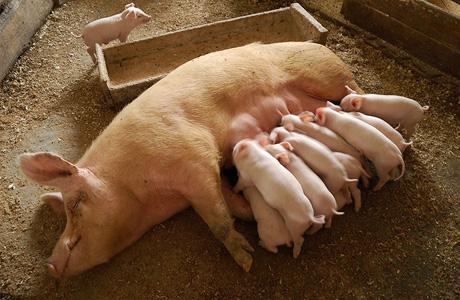 Украинским свинофермам угрожает африканская чума
