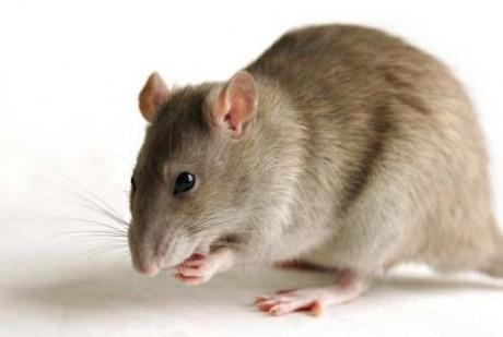 Эксперименты провели на крысах, которые страдают раком толстой кишки.