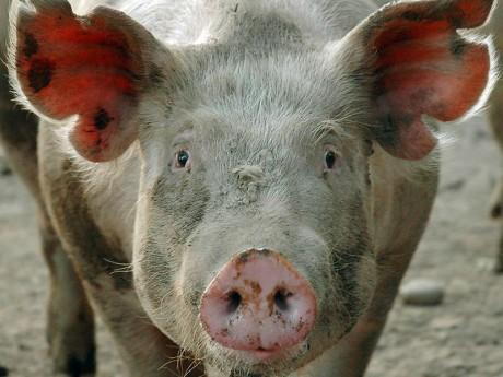 Власти начали борьбу с африканской чумой свиней