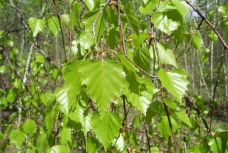 Лечение листом березы и красным перцем