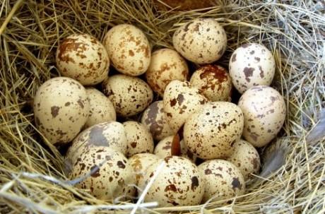 Заболевания, которым противостоят перепелиные яйца