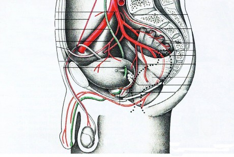 Кровоснабжение предстательной железы
