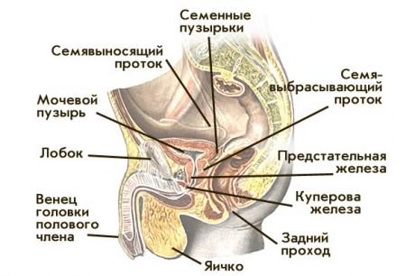 Особенности мужской репродуктивной системы