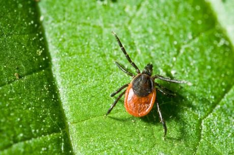 Энцефалит – болезнь комариного или клещевого укуса