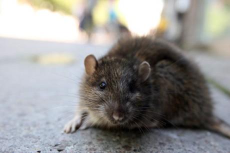 Американец заразился чумой, вытянув мышь из пасти кота