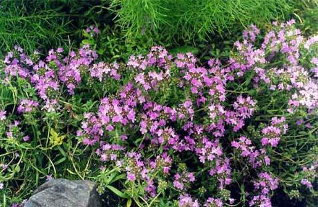 Тимьян - вечнозеленое многолетнее растение