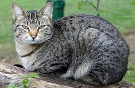 Основной источник инфекции токсоплазмоза - кошка